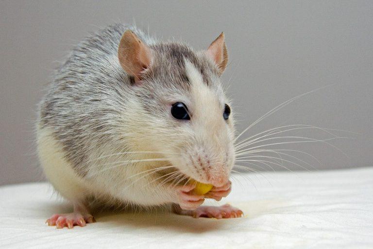 Ratti: una minaccia alla salute da non sottovalutare